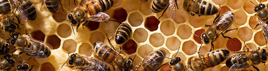 Het bijenvolk