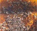 Kleine bijenkastkever bereikt Zwitserland